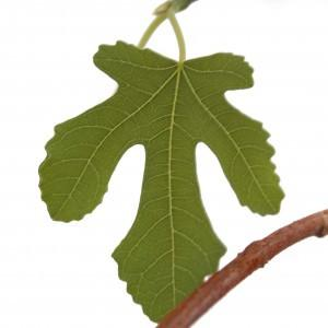 Tree of the Month - Fig Tree