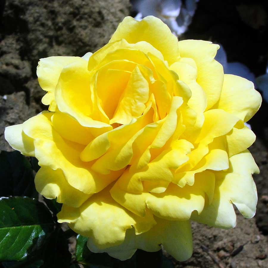 Hybrid Tea Rose Care Guide