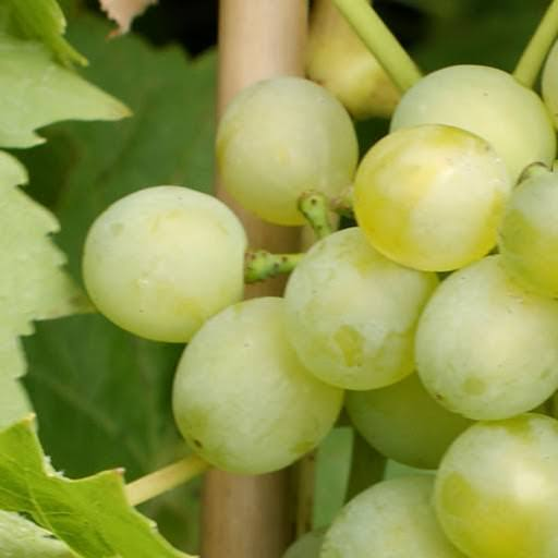 How to: Grape Vines