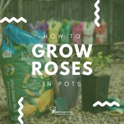 Planting and Growing Roses in Pots