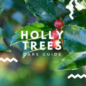 Holly Tree Care Guide