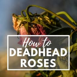 How to Deadhead Rose Bushes