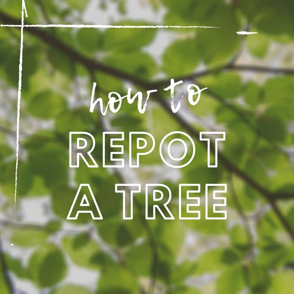 How to Repot a Tree