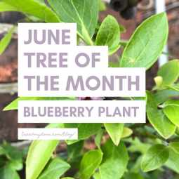 June Tree of the Month 2019 - Blueberry Plant Gift