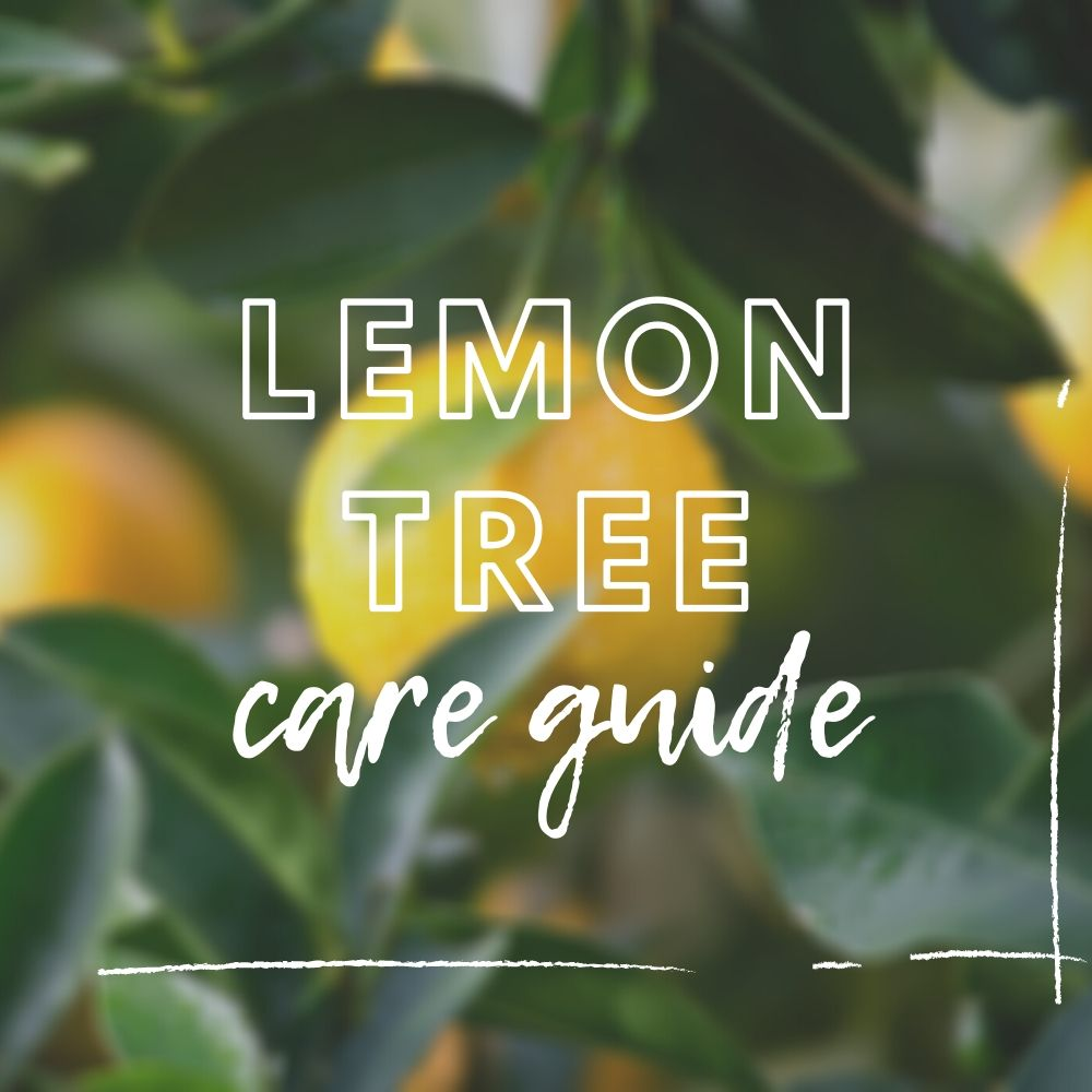 Caring for Your Lemon Tree