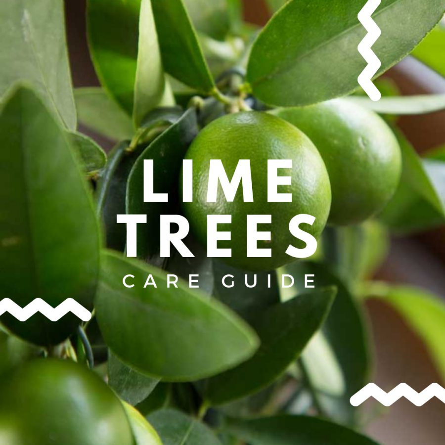 Lime Tree Care Guide