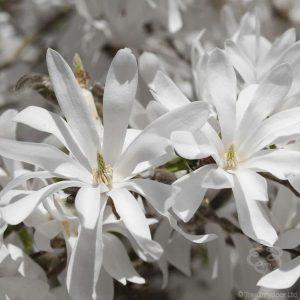 March Tree of the Month 2019 | Star Magnolia Tree