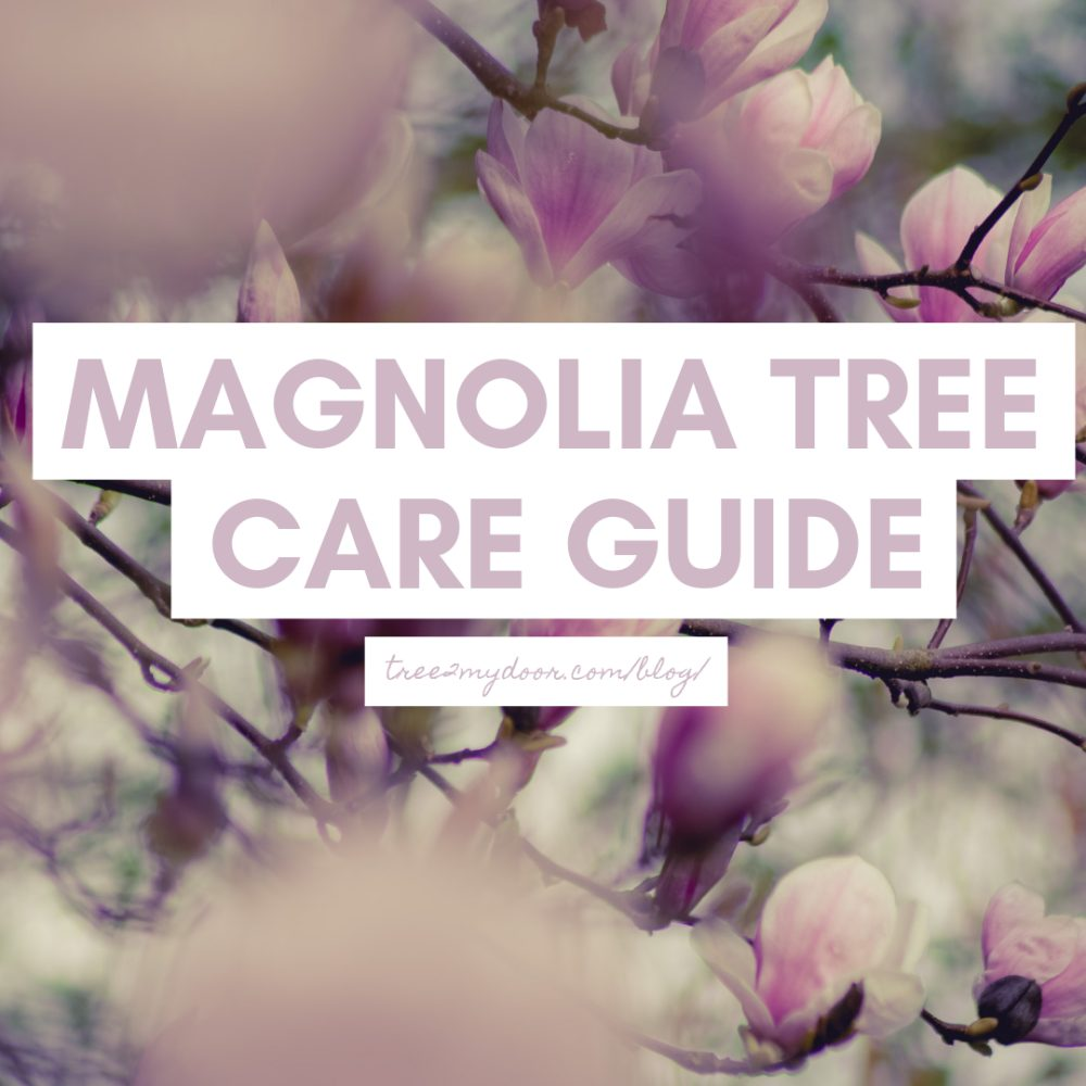 Magnolia Tree Care Guide Looking After Magnolia Trees Tree2mydoor