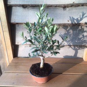 January Tree of the Month 2019 | Mini Olive Tree