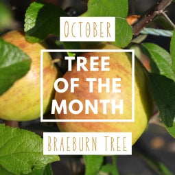 October Tree of the Month 2019 - Braeburn Apple Tree Gift