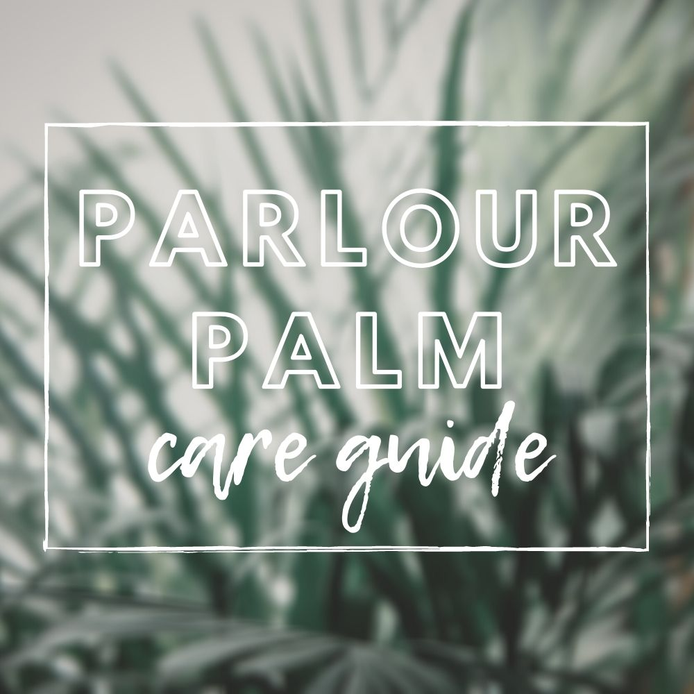 Parlour Palm Care Guide
