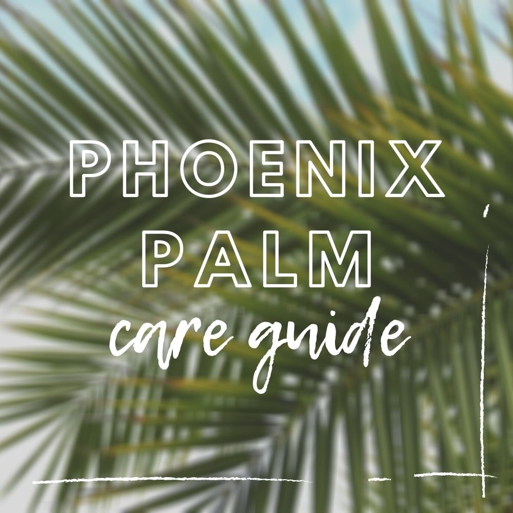 Phoenix Palm Care Guide