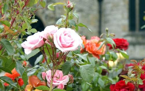 Buy Roses Online - new stock here!