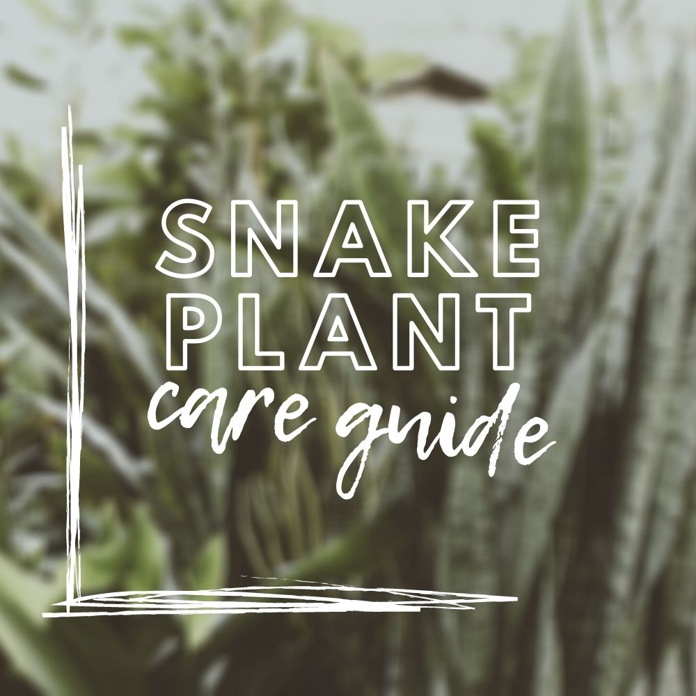 Snake Plant Care Guide