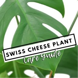 Swiss Cheese Plant Care Guide