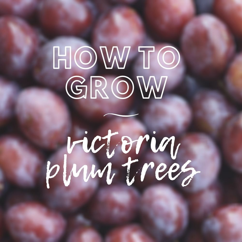Victoria Plum Tree Care Guide