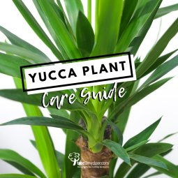 Yucca Plant Care Guide