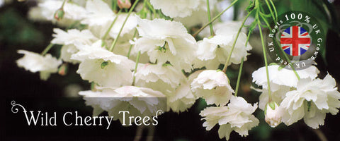 Wild Cherry Tree Gifts