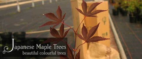 Japanese Maple Tree Gifts