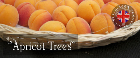 Apricot Tree Gifts