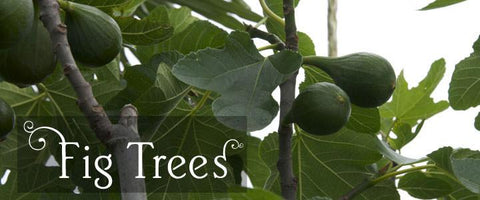 Fig Tree Gifts