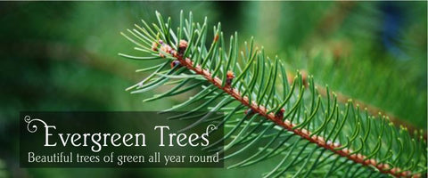 Evergreen Tree Gifts