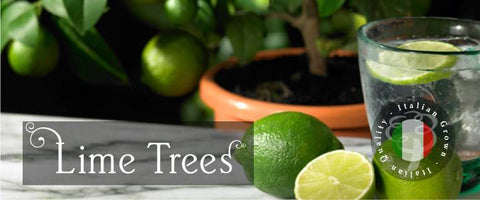 Lime Tree Gifts
