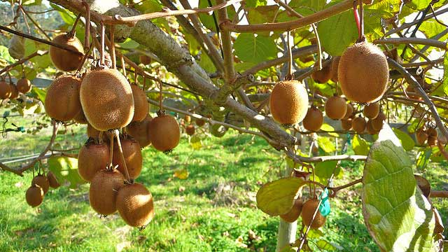 Buy a Kiwi plant and grow your own. juicy kiwis
