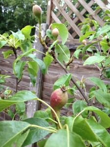 Conference Pear Tree