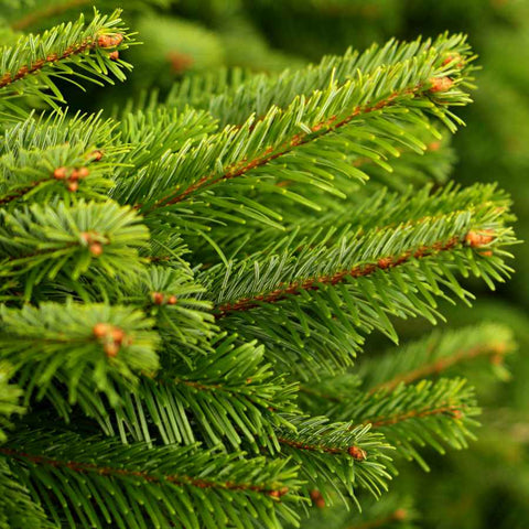 Nordmann Fir Tree Needles