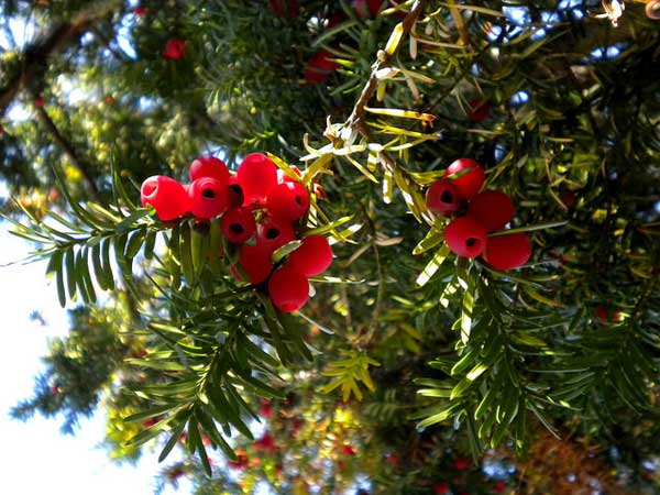 Despite the Yew trees amazing ability to regenerate, it remains highly poisonous to humans and animals, so watch out!