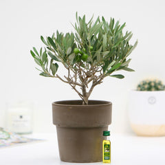 Mini Olive Tree Gift with Olive Oil