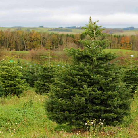 9ft Nordmann Fir Tree
