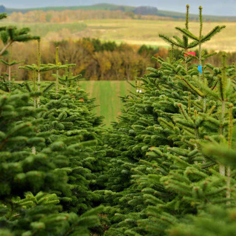 Christmas Trees in a Field