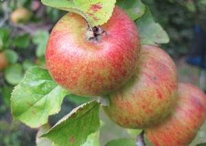 Foraged Apples