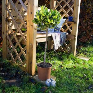Standard Bay Tree in a Pot