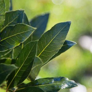 Fragrant Bay Leaves