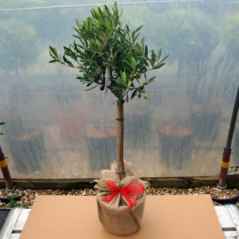 Christmas Olive Tree Gift