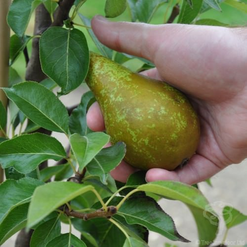 Conference Pear Tree Gift