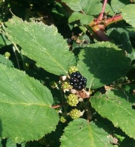 blackberry plant for sale