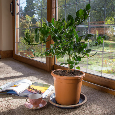 Citrus Tree next to a patio window