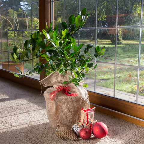 Kaffir Lime Tree Gift