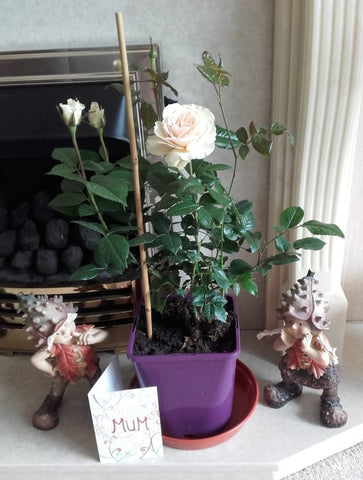 Diamond Wedding Rose Bush Gift