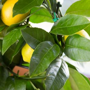 Mini Lemon Tree Fruit