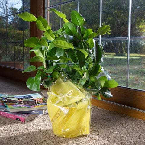 Mini Kaffir Lime Tree Gift