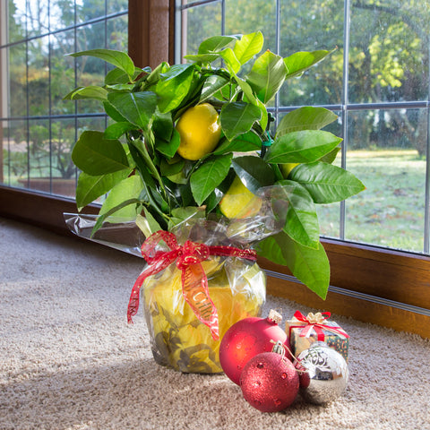 Mini Lemon Tree Gift