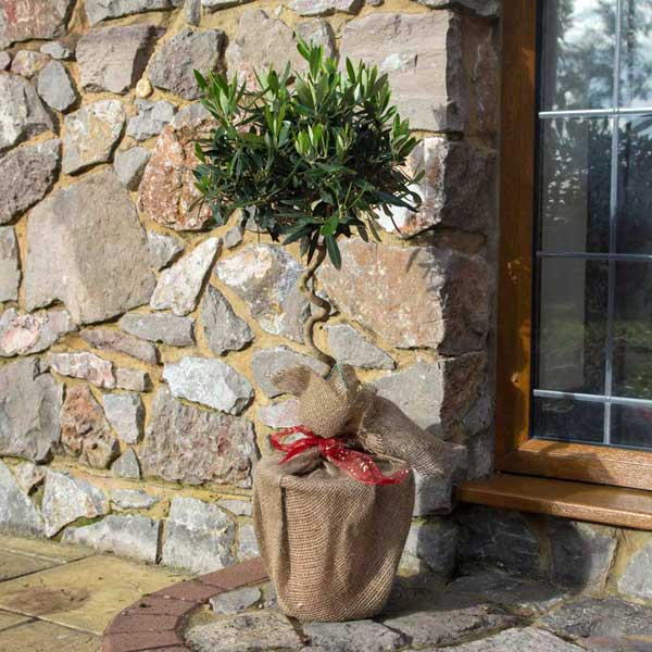 Twisted Olive Tree Gift