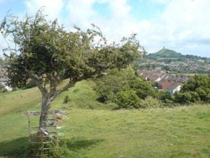Glastonbury Thorn Tree