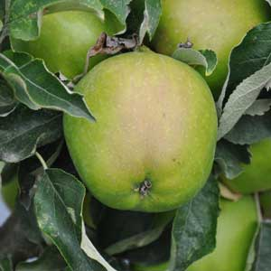 Green apples growing