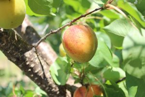 Learn how to care for your apricot tree with our handy guide.